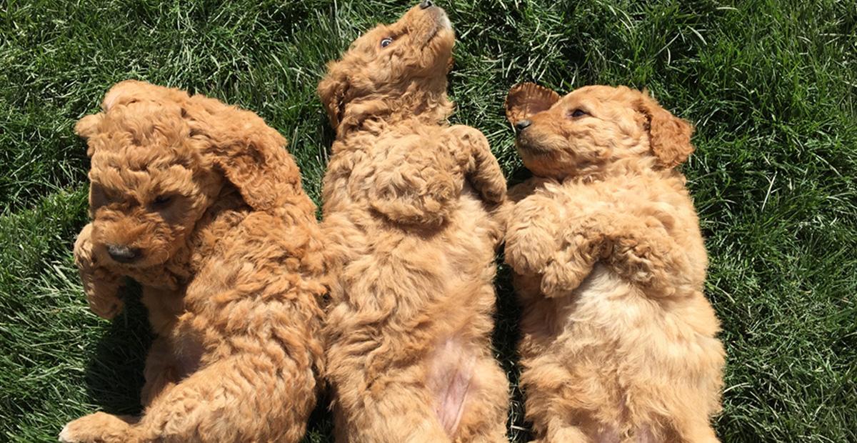 The PNW's Most Wonderful Doodles • Labradoodle Breeder • Goldendoodle Puppies • Doubledoodle Breeder